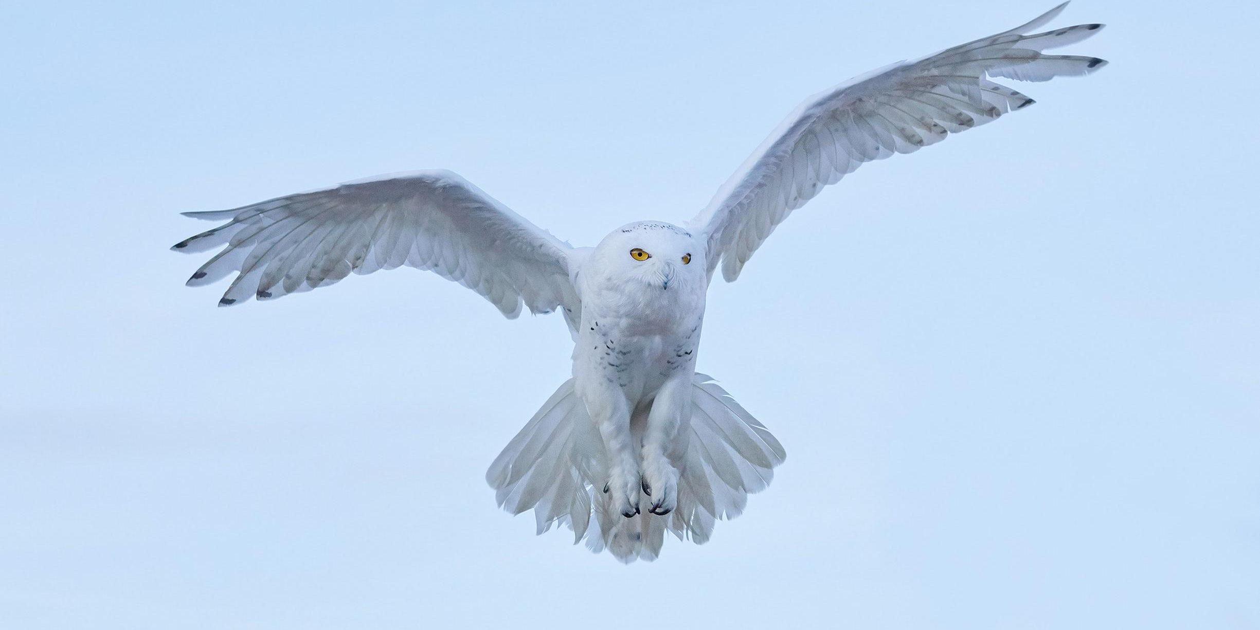 Soul Reading Hedwig de uil van Harry Potter